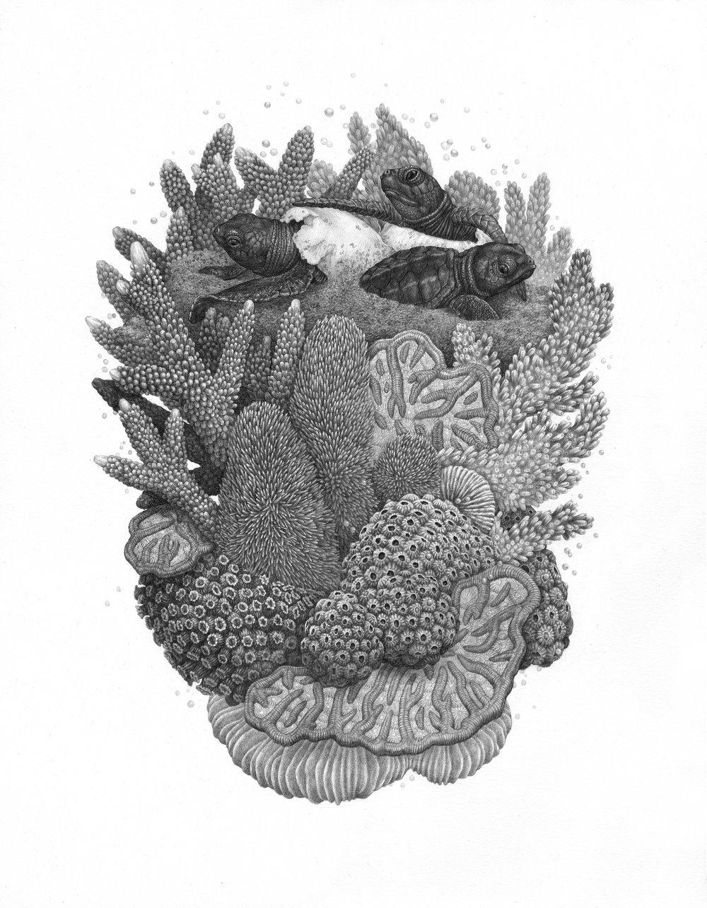 """Кораллы, Графит на бумаге, 14 """"x 18"""" - Доступно для покупки через Antler Gallery"""