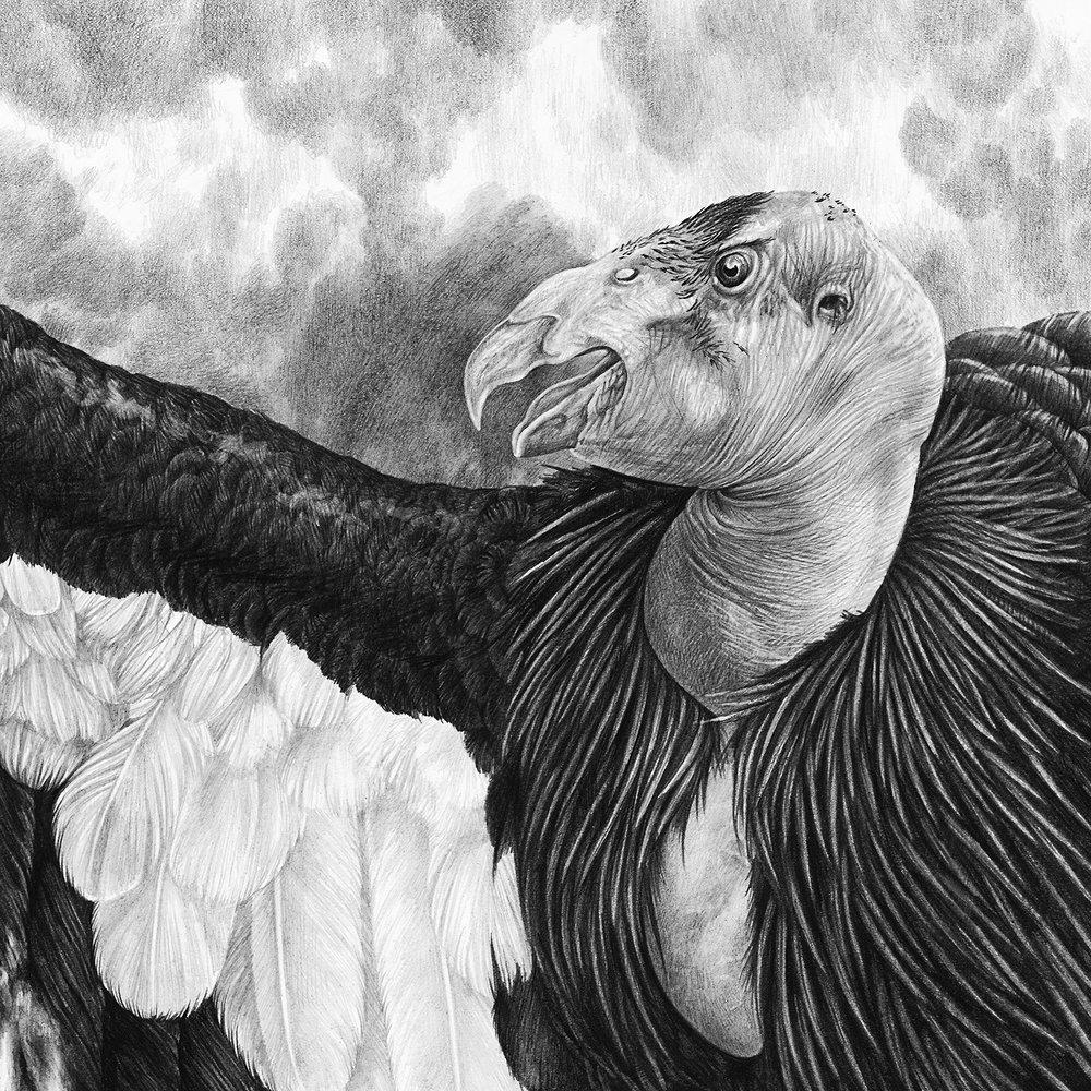Condor Crop 5.jpg