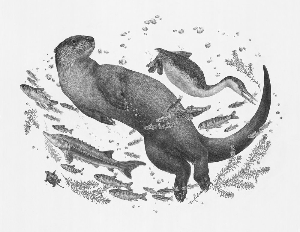 "River Otter, 36"" x 28"", Graphite on paper, 2018  Click here to purchase through Antler Gallery"