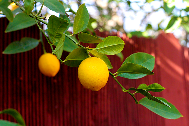 Lemons in backyard