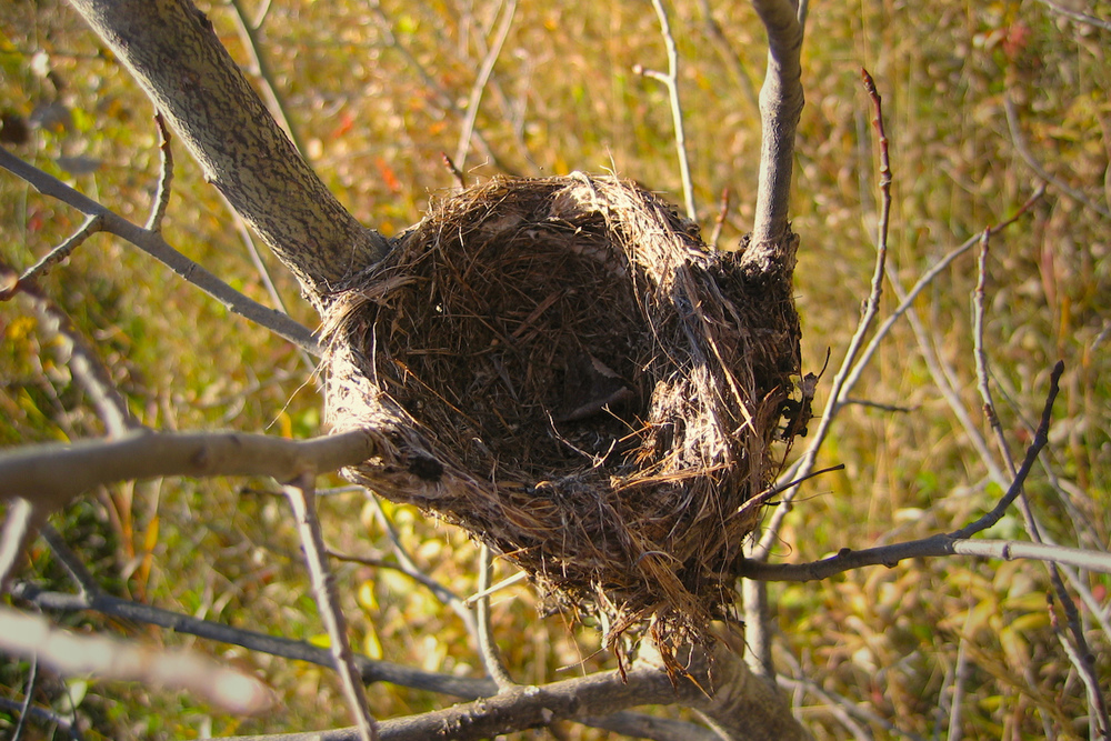 Empty nest... left behind in a willow by a small seasonal migrant.