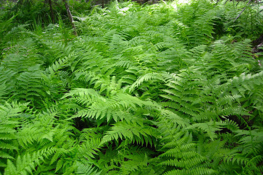 Verdant ferns, unchanged in 180 million years, thrive beneath the forest canopy...