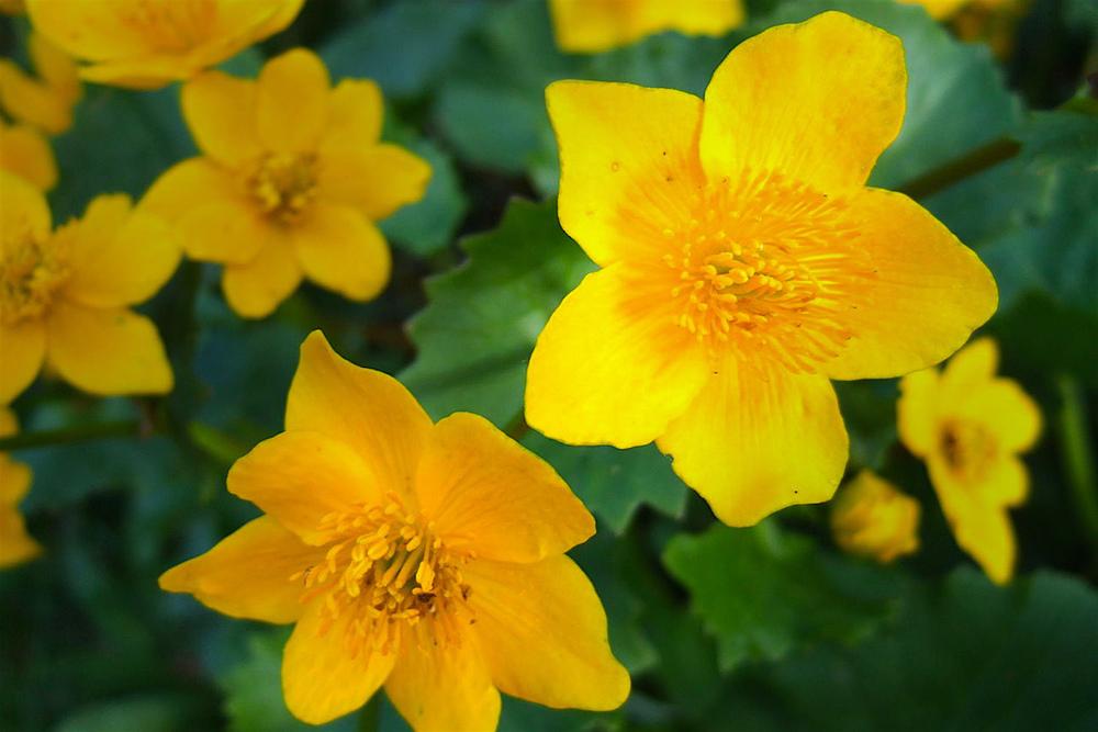 Marsh-marigolds  (Caltha palustris)  in all their splendour. ..