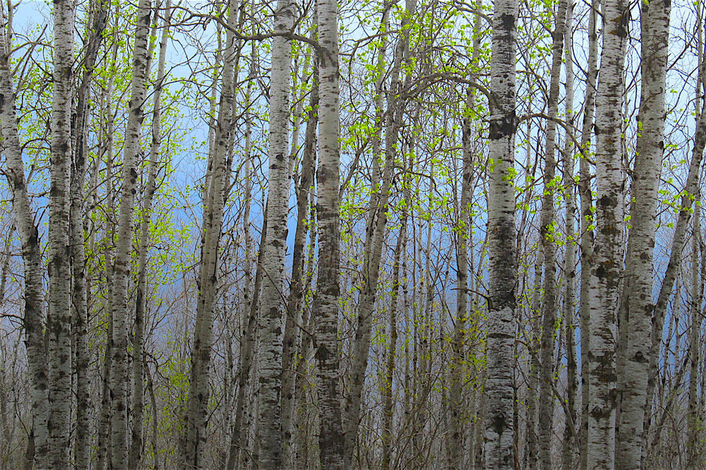 Beautiful fresh green leaves on the aspen trees are a sure sign of spring...