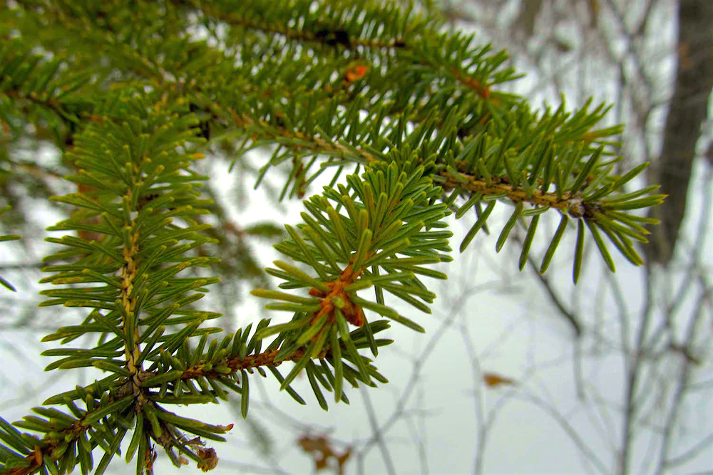 White spruce ( Picea glauca ) provide a touch of greenery in the mostly monotone winter woods...