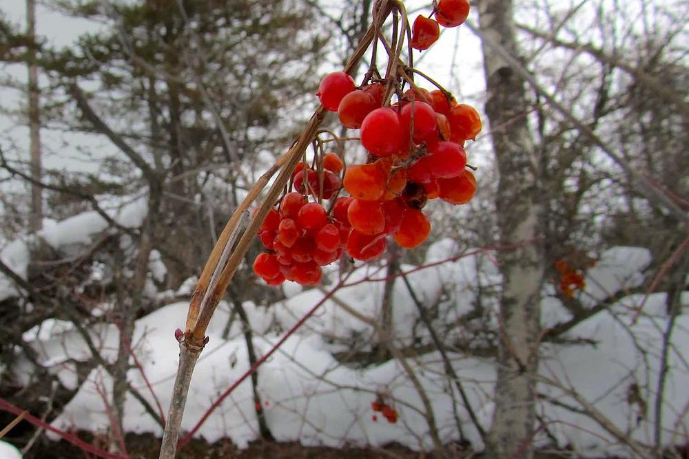 High bush cranberry  (Viburnum trilobum) ... awaiting a visit from Bohemian waxwings?