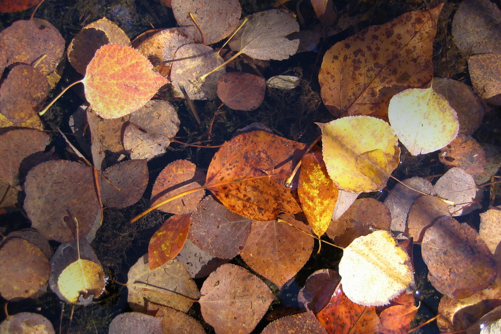 Fallen leaves, suspended in a frozen puddle...