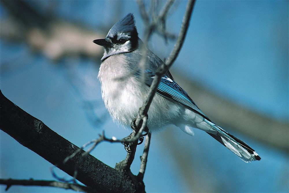 Blue Jay  (Cyanocitta cristata) , one of our numerous and more raucous year-round avian residents...