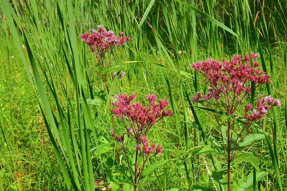 Swamp milkweed  (Asclepias incarnata)  grows alongside the marsh and is a favorite of adult monarch butterflies.  Unfortunately, it has become rare to find this plant in the wild in Manitoba.