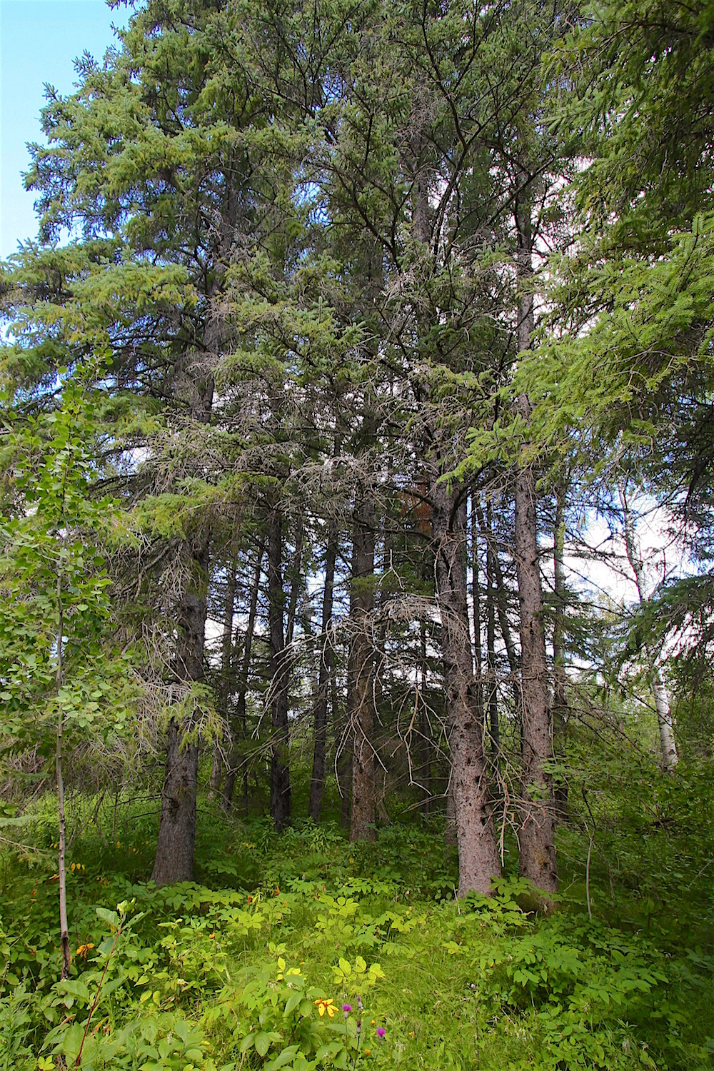 One of numerous stands of stately White spruce  (Picea glauca)  that grace the acreage...