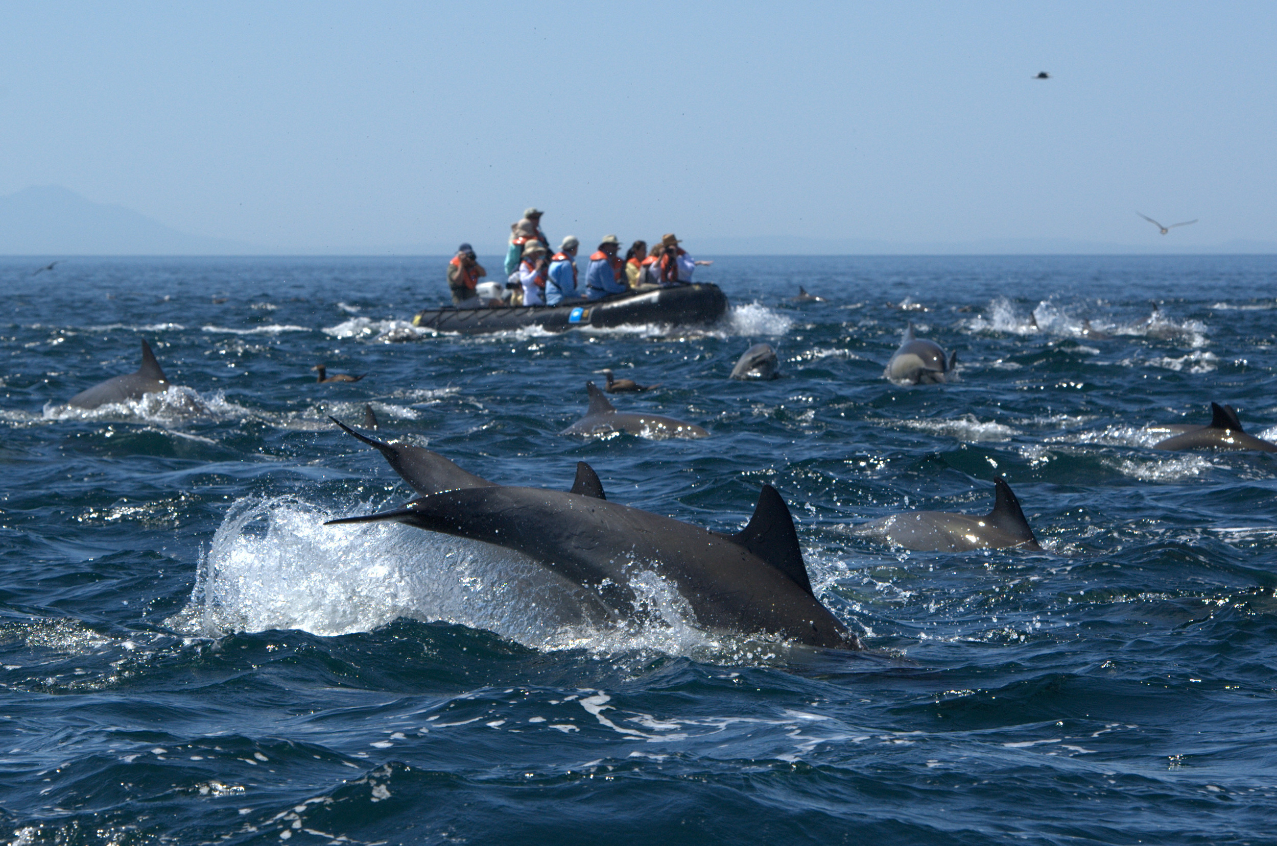 Common Dolphins Sea of Cortez