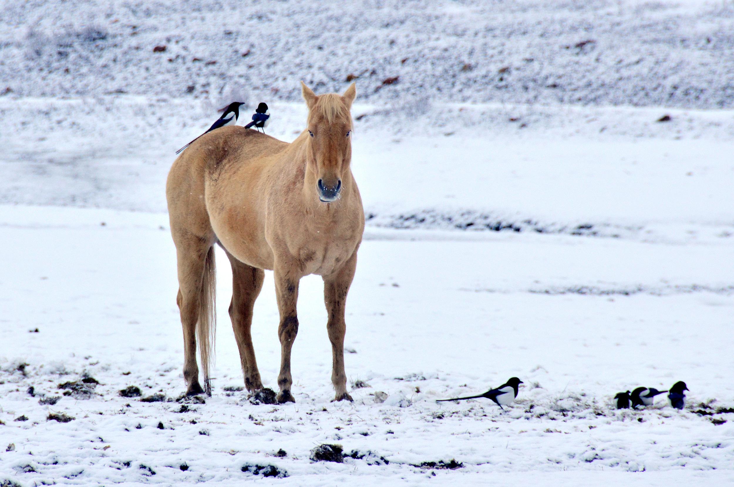 Colorado horse Magpies