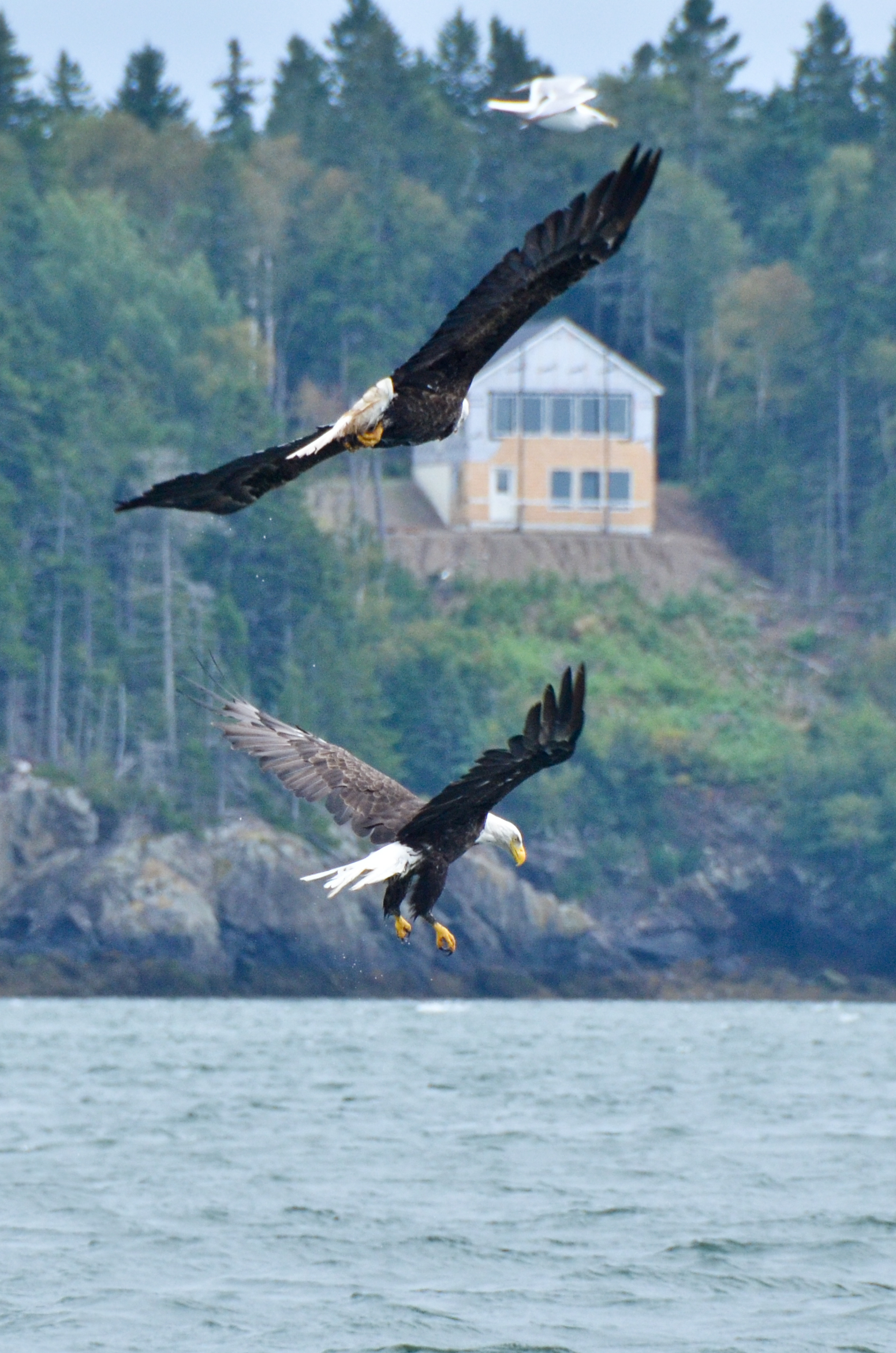 Bald Eagle of Campobello Island