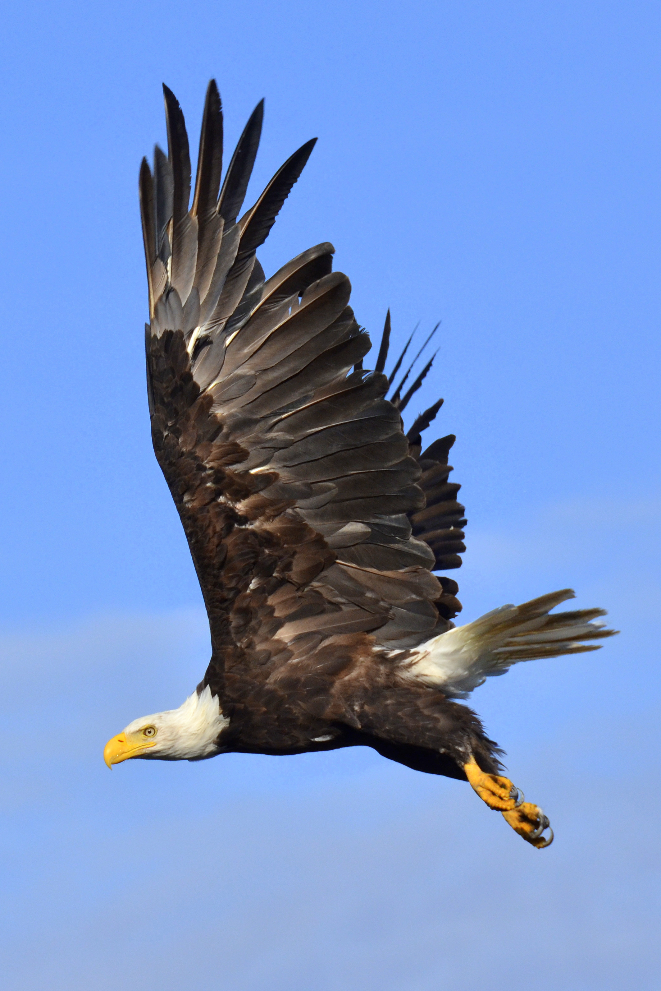 Bald Eagle on Haida Gwaii