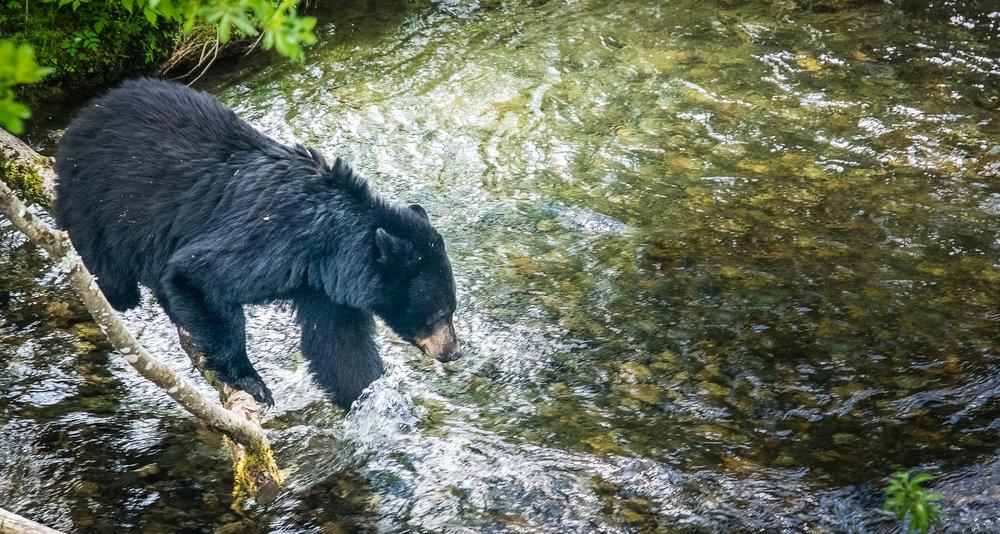 black bear general.jpg