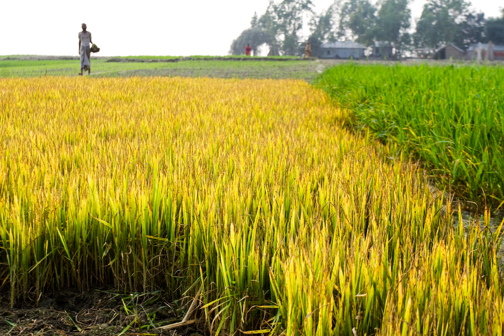 Ricefield.jpg