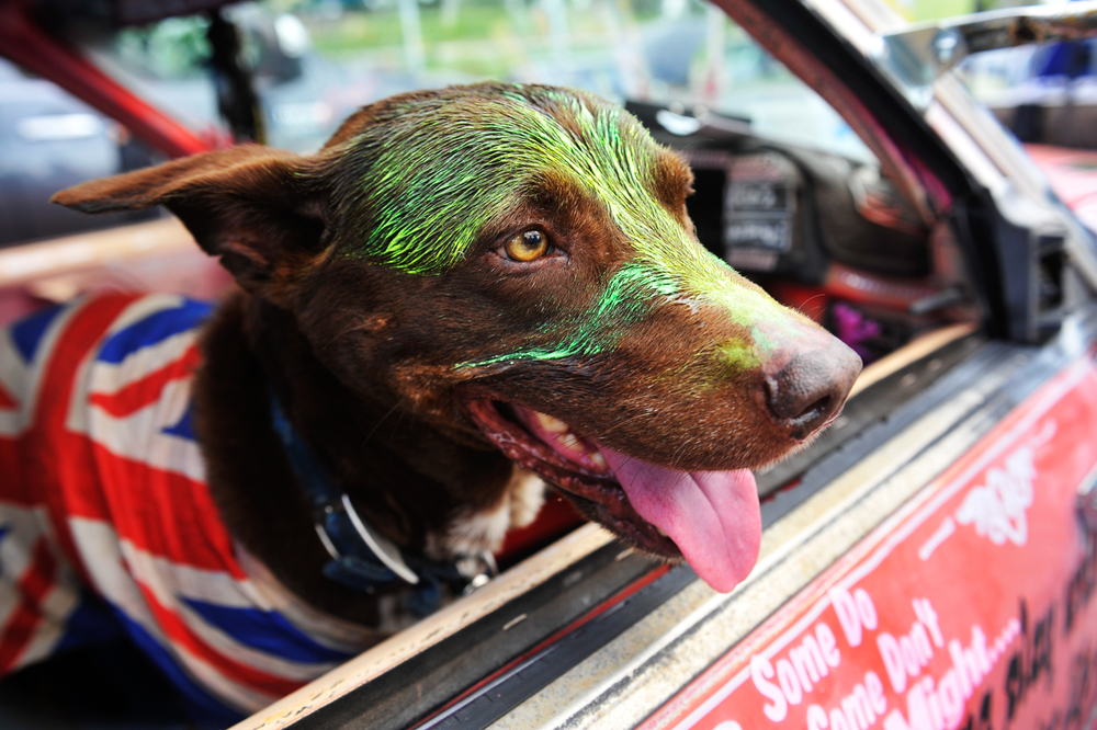 CHP_Export_51164185_Antics at the Australia Day Ute Run Tucker the dog.jpg