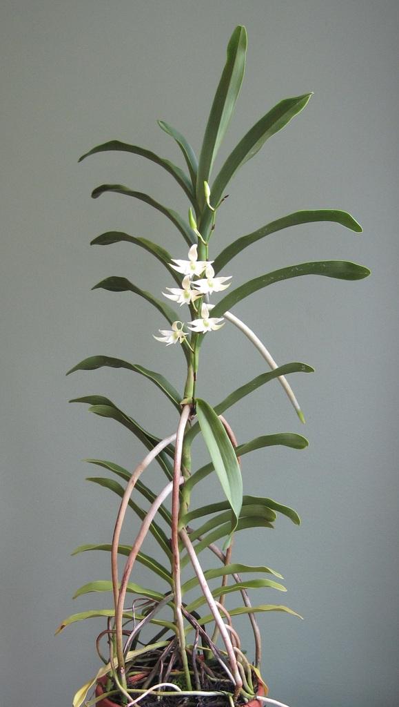 Sobennikoffia humbertiana plant 05-01-2016_zps7vwszagf.jpg