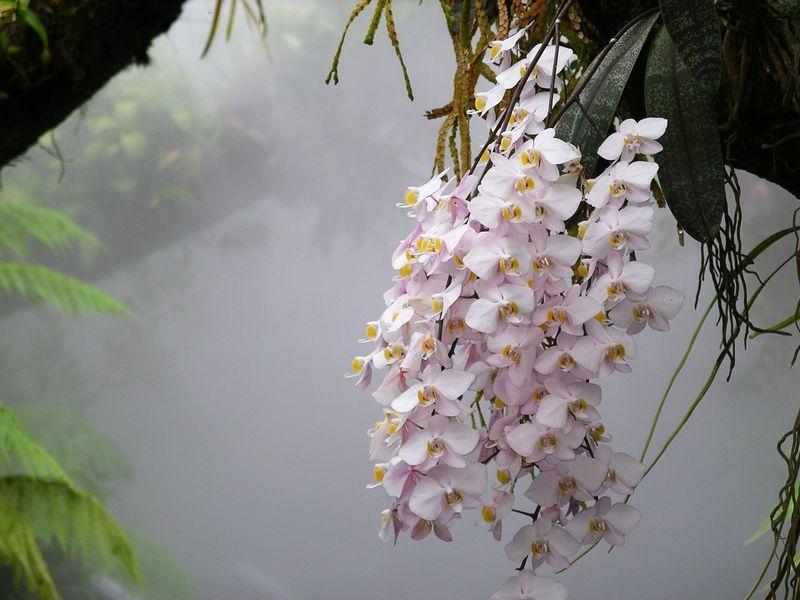 Phalaenopsis_philippinensis_NationalOrchidGarden-Singapore.jpg