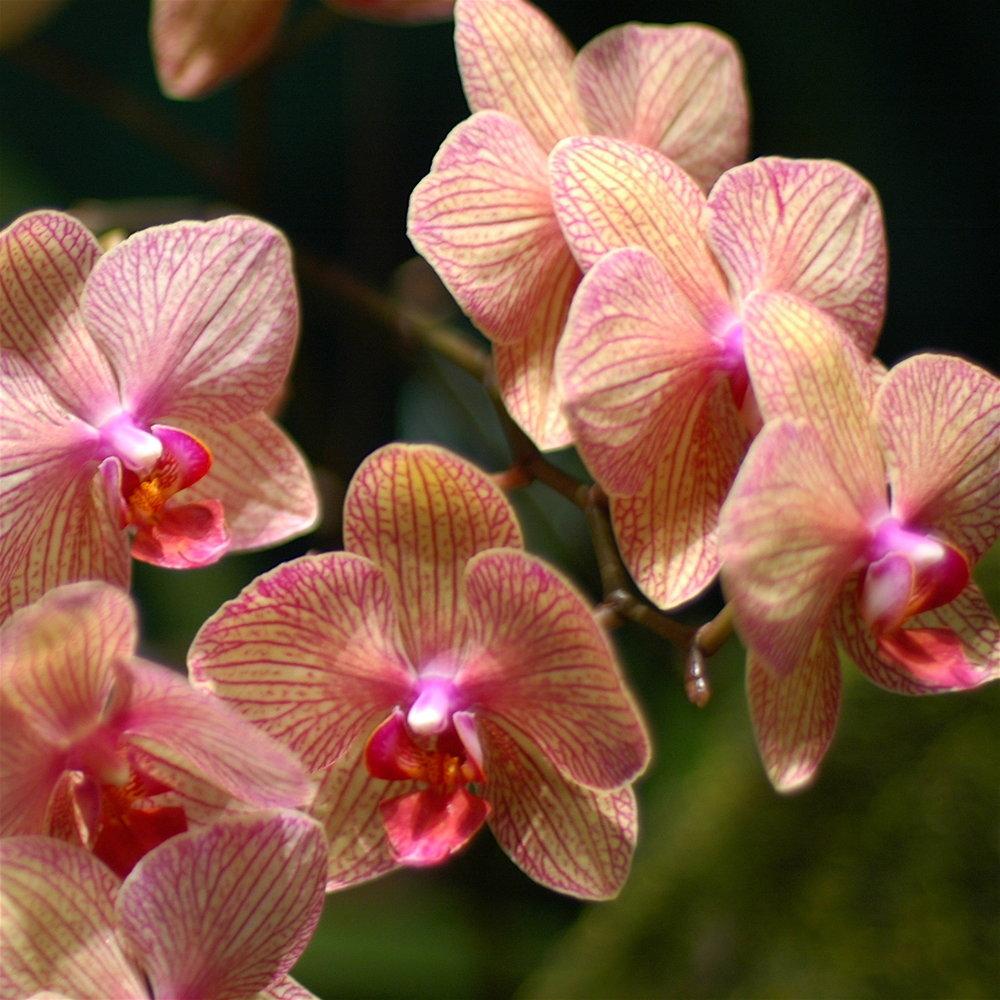 Phalaenopsis_hybrid_yellow_and_pink.jpg