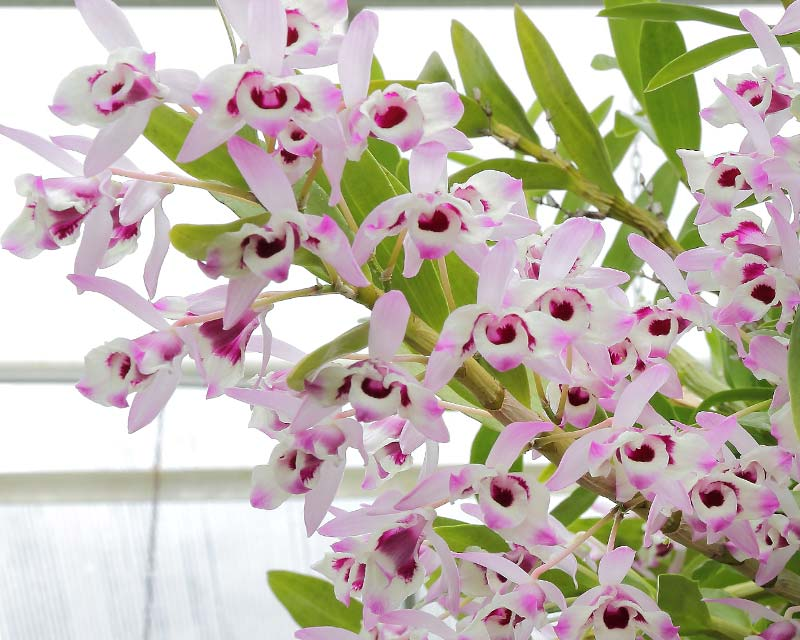 Dendrobium-Nobile.jpg