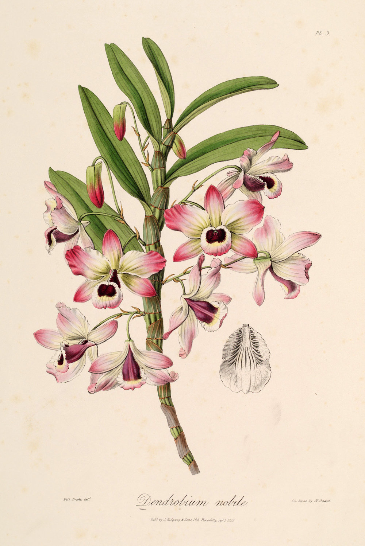 Dendrobium_nobile_-_Sertum_-_Lindley_pl-1._3_(1838).jpg