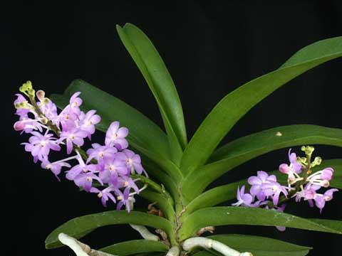 Rhync. Lilac Blossom