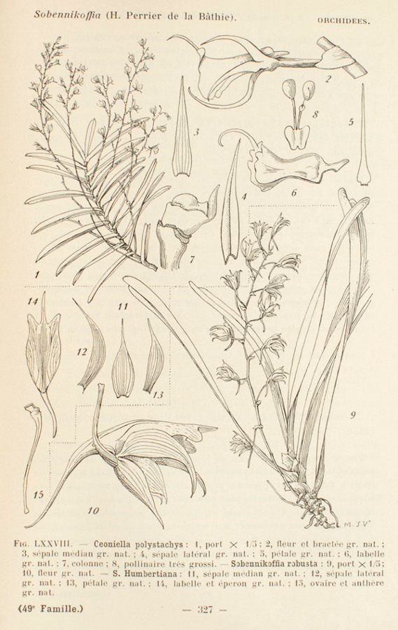 Sobennikoffia orchid illustration.Photograph copyright  Swiss Orchid Foundation  at the Herbarium Jany Renz