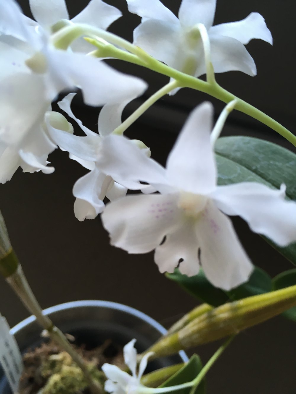 Dendrobium mini snowflake. Photo credit: Jessica Champagne. Check out those faint purple spots! This orchid is one of my recent favourites, all my other dendrobiums are nobile but those one I LOVE LOVE LOVE. Definitely on my list to get a similar one... maybe abberans?