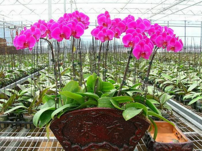 Hybrid orchids tends to be large and have resilience