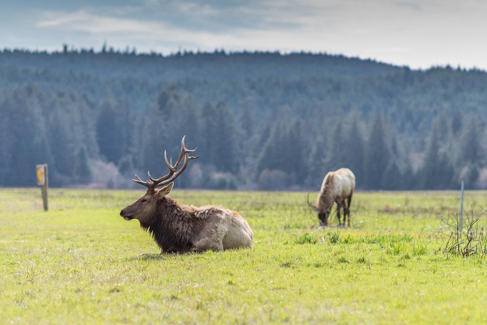 Charlie The Elk
