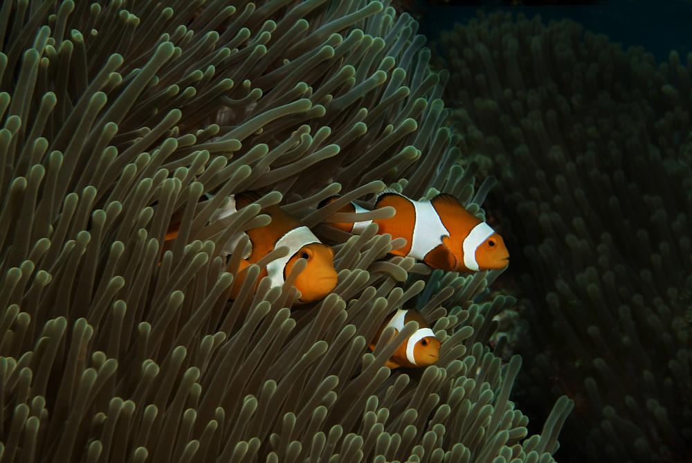 anemonenfische3.jpg