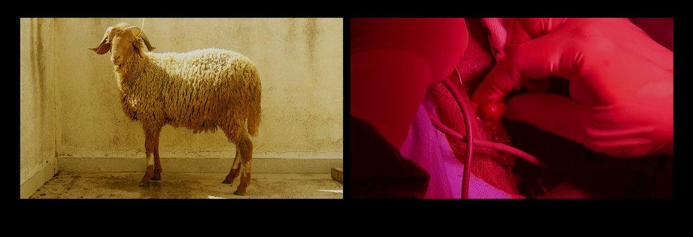Installation vidéo Ritus, 2019. (Deux projections vidéos)  « Les services cérémoniels échangés par des populations, L'interprétation du rite suit, un parcours sinueux. L'idée de la mise à mort des animaux, une sorte de sacrilège ou de crime que le rituel parviendrait à rendre légitime en effectuant une « transfiguration symbolique de l'animalité », mais s'oriente peu à peu vers l'idée que cette mise à mort constitue, en tant que telle, un élément crucial de « l'organisation culturelle de l'espace », c'est-à-dire de la reproduction de l'ordre social et du marquage des frontières séparant les groupes humains les uns des autres. Toutefois, on ne voit pas clairement si ces deux hypothèses sont alternatives ou complémentaires, et aucune des deux n'est suffisamment étayée. La première, empruntée à Lanternari, est la moins probante. Elle serait, à la rigueur, plausible si chacun des groupes tuait purement et simplement les animaux de l'autre groupe, autrement dit, si chacun était « l'exécuteur sacré ». Mais ce n'est pas le cas. Certes, chacun des groupes ne mange pas les animaux qu'il a élevés, seulement ceux du groupe voisin, mais c'est en commun que les hommes des deux groupes tuent toutes les bêtes, celles qu'ils ont élevées comme celles qu'ils vont manger. De toute évidence, le rituel ne se limite donc pas à faciliter la consommation des animaux. Mais, s'il a d'autres propriétés. En quoi celle-ci permet-elle de « ritualiser la mise en ordre générale du monde » concevoir le sacré comme une production culturelle collective, et l'essentiel du patrimoine immatériel et même à définir la religion par la séparation du profane et du sacré. »   Louÿs Jacques - L'espace, le temps, le sacré.