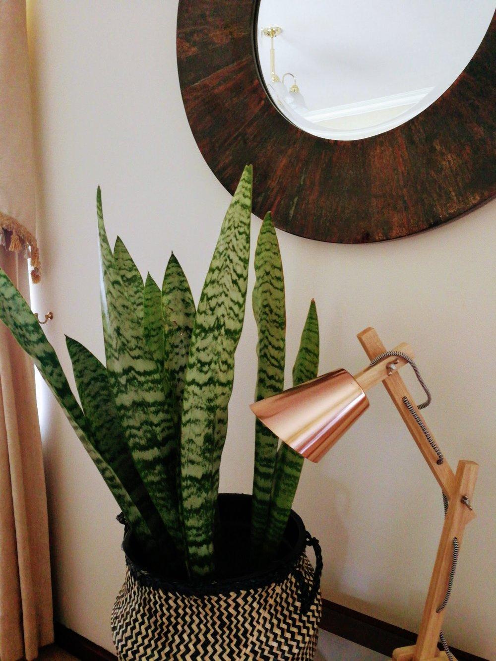 aloeveraplant.jpeg