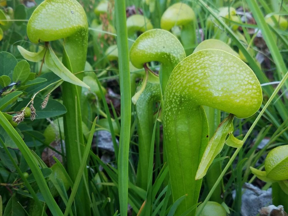 Darlingtonia californica  The California pitcher plant! Super cool to see in person.
