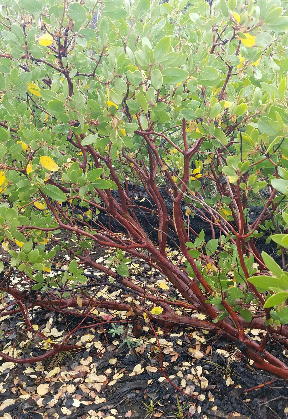 a beautiful manzanita, bummed I won't be seeing these for much longer.
