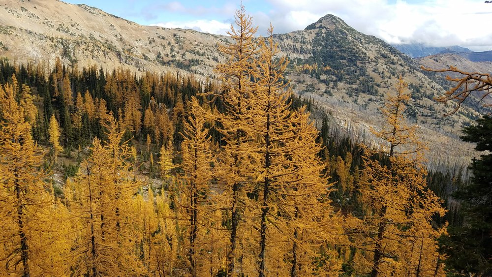 Beautiful Larches!