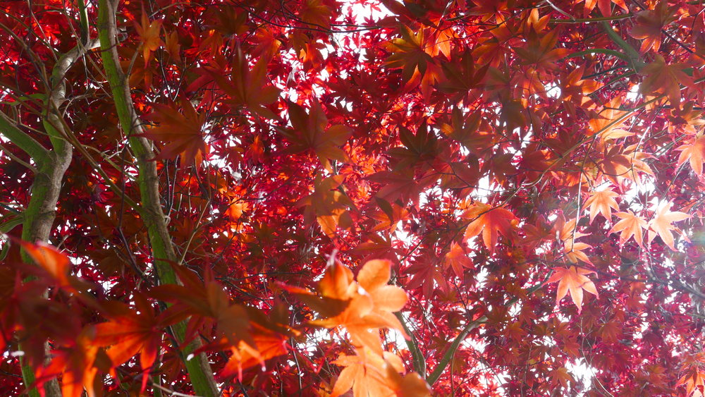 Japanese Maple at the Halifax Public Gardens