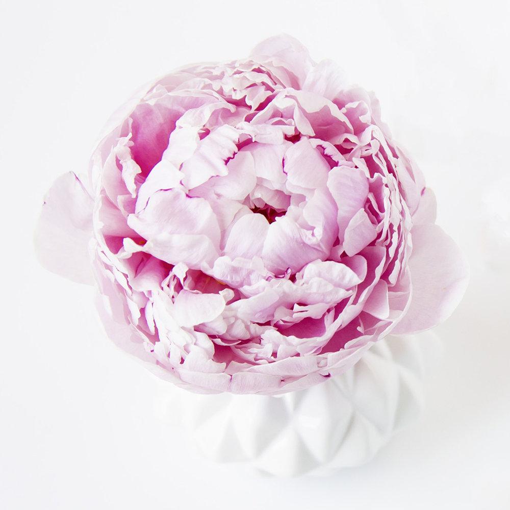 Peonia rosada. Flor