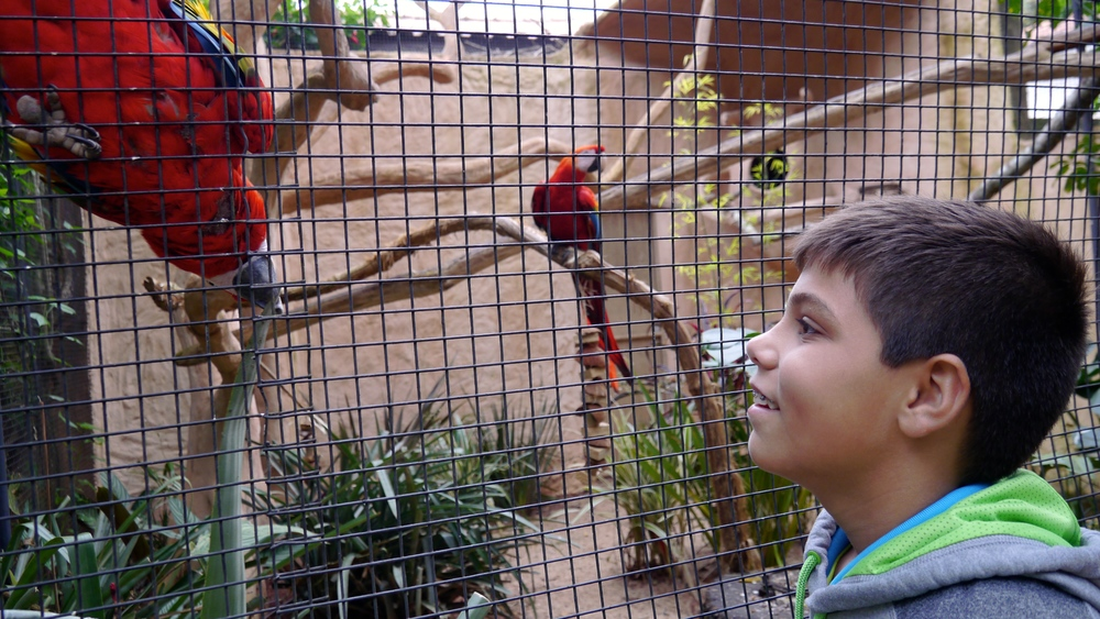 (14)  Aidan admires a Ruby Macaw at the Bird Park..JPG