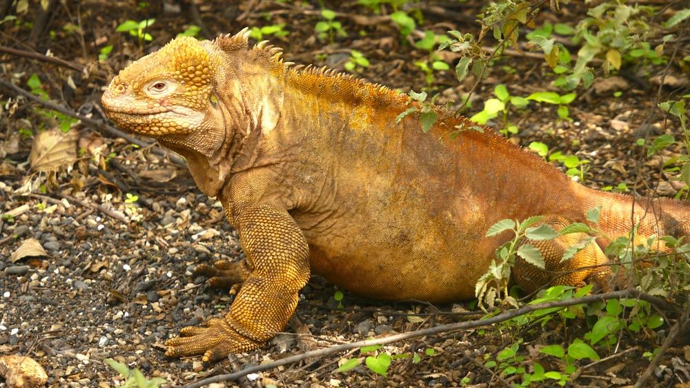 Day 4 (Land Iguana).JPG