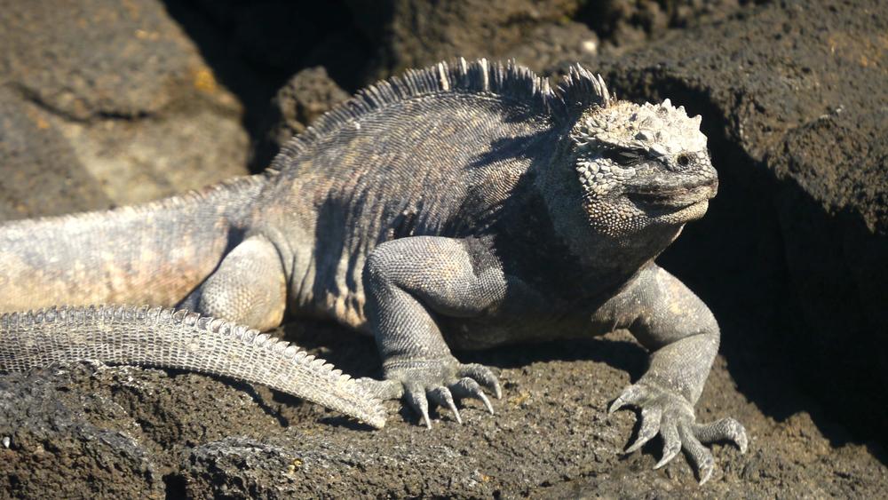 Day 4 (Marine Iguana).jpg