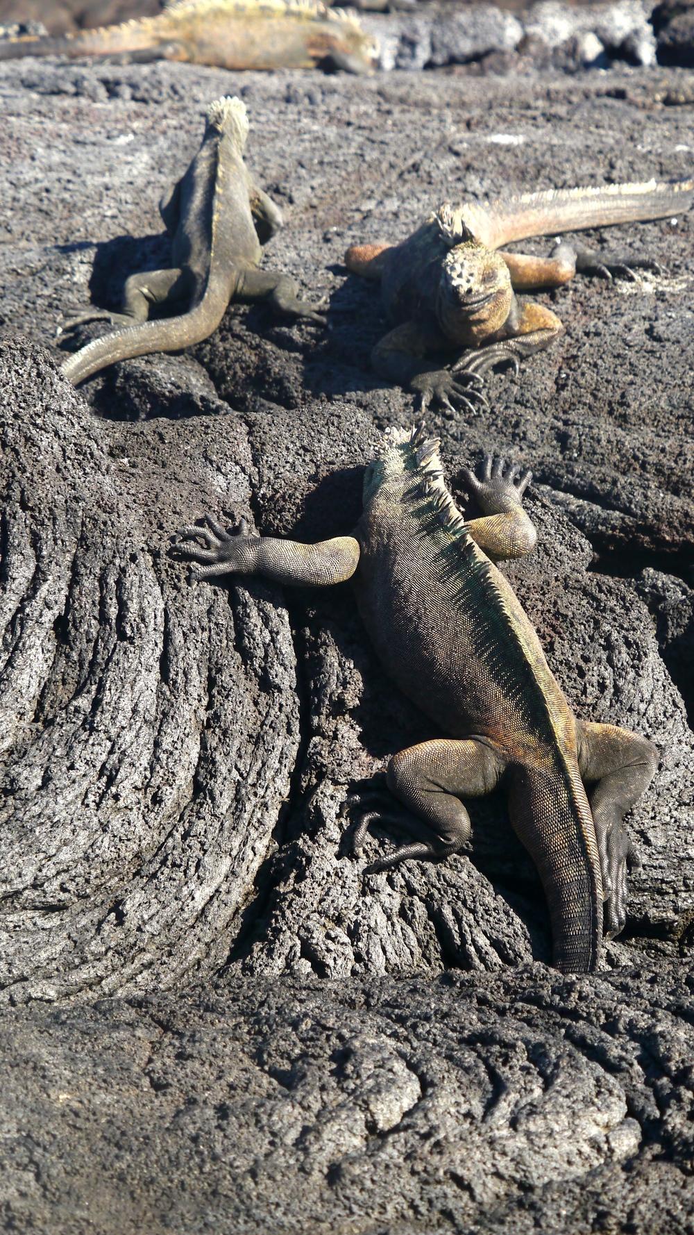 Day 4 (Marine Iguanas).jpg