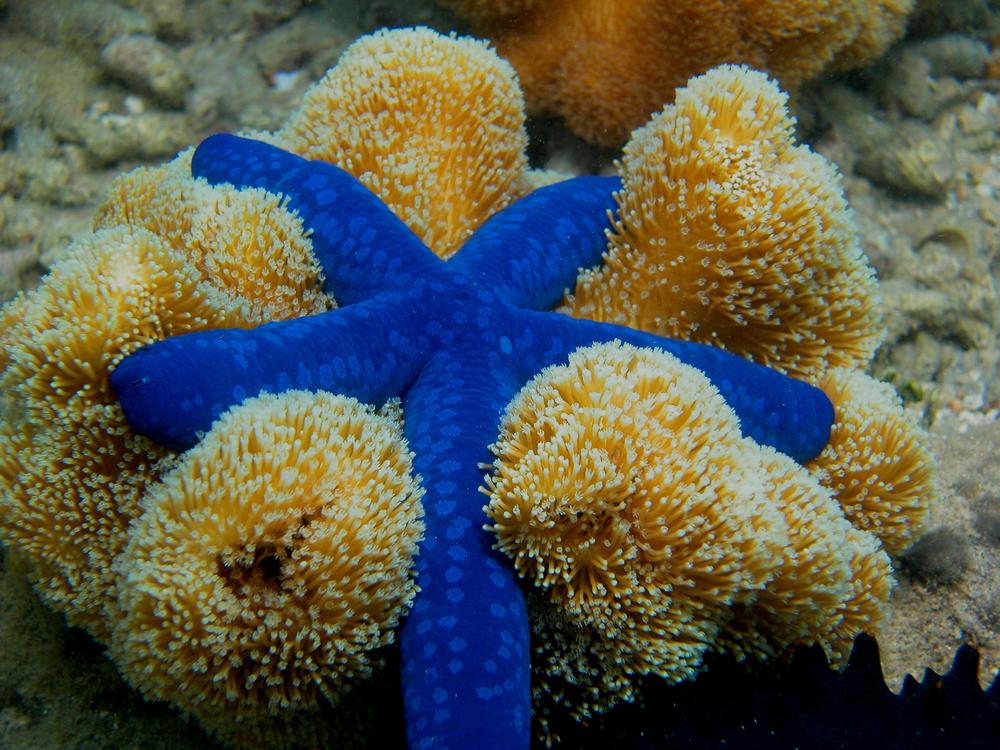 Blue Linkia Sea Star.JPG