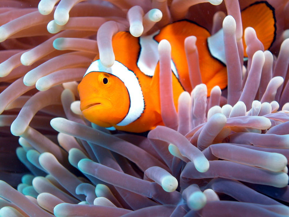 Clownfish with Anemone.JPG