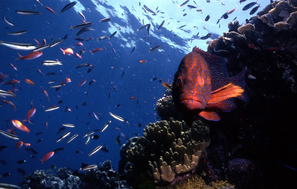 Coral Cod.JPG