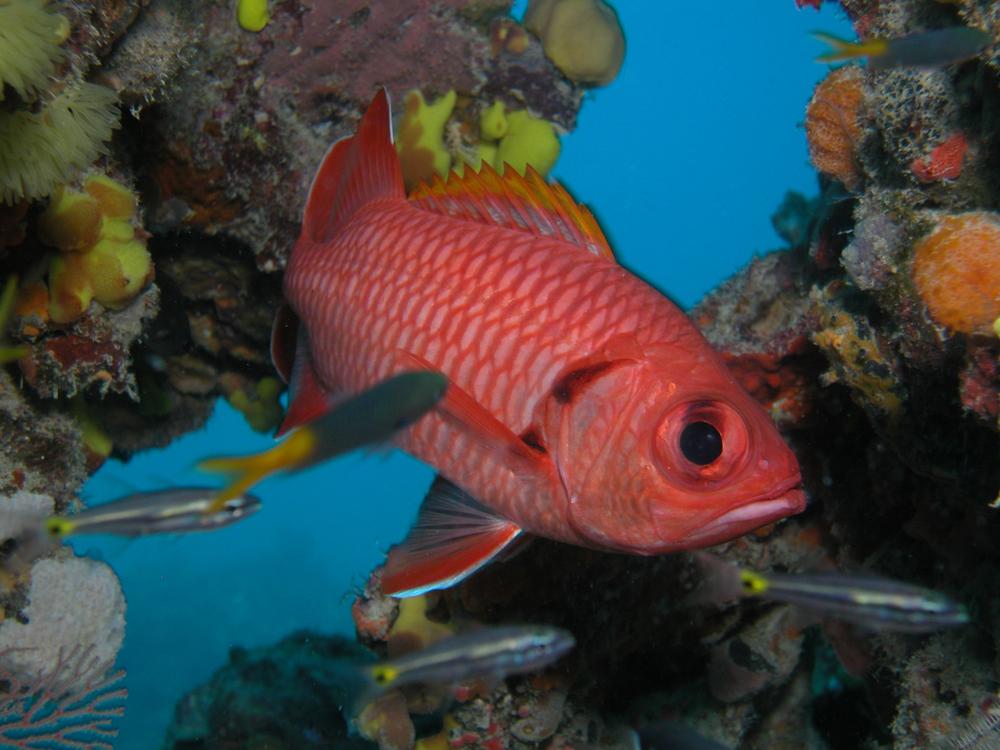 Crimson Soldierfish.JPG