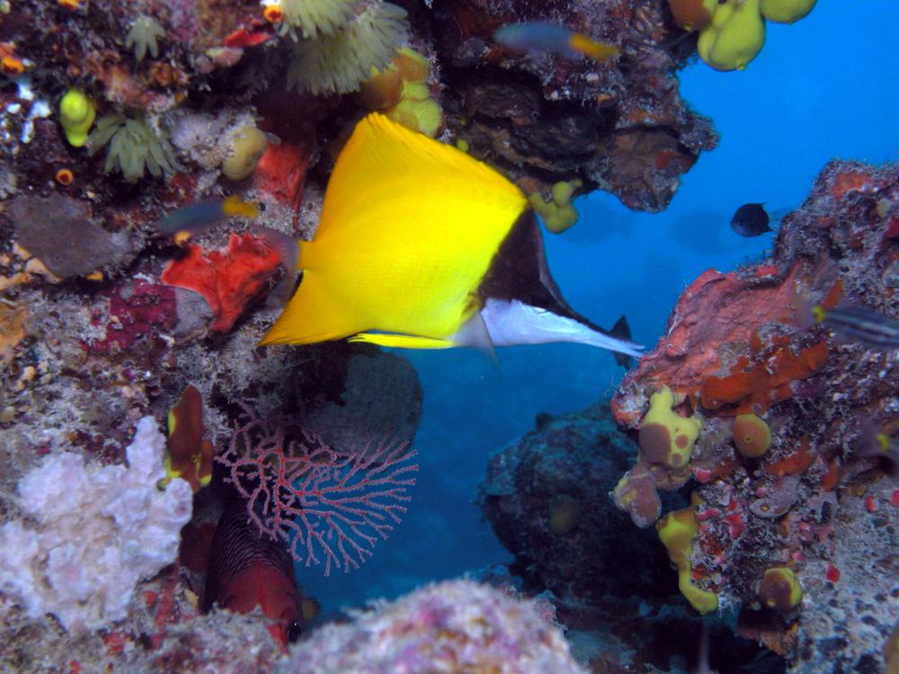 Long-nose Butterflyfish.JPG