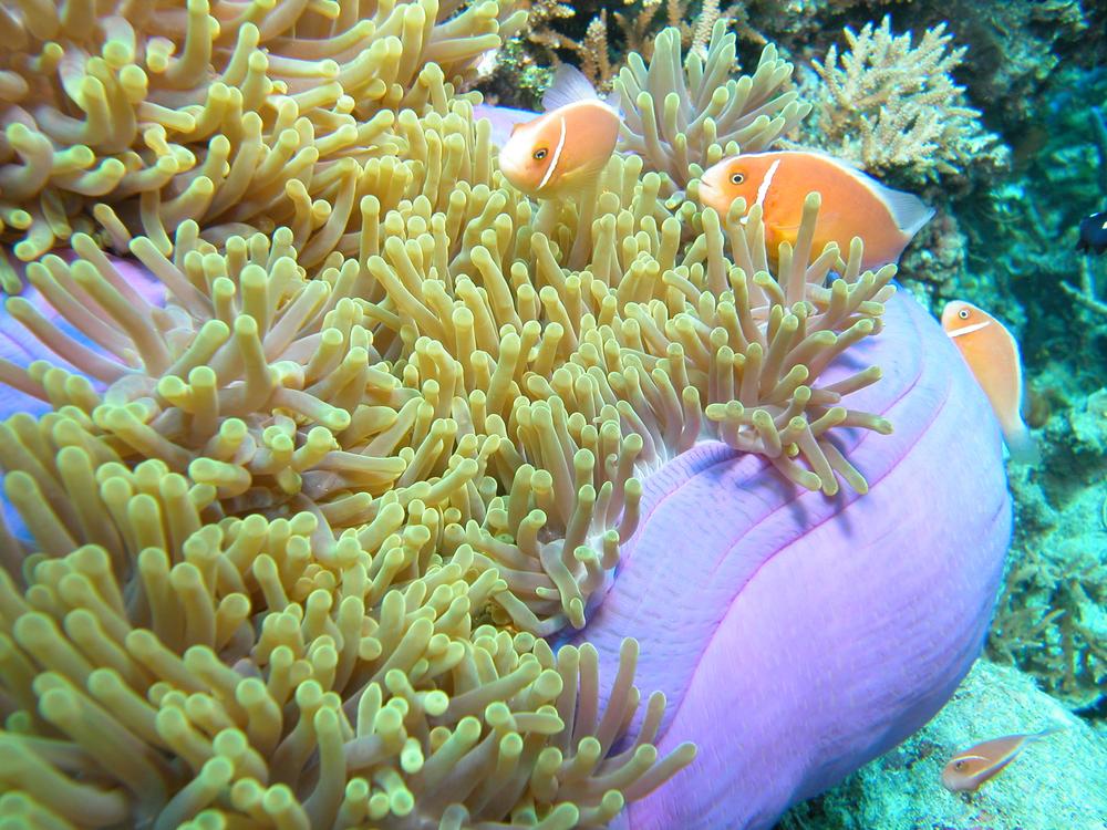 Pink Anemonefish 2.JPG
