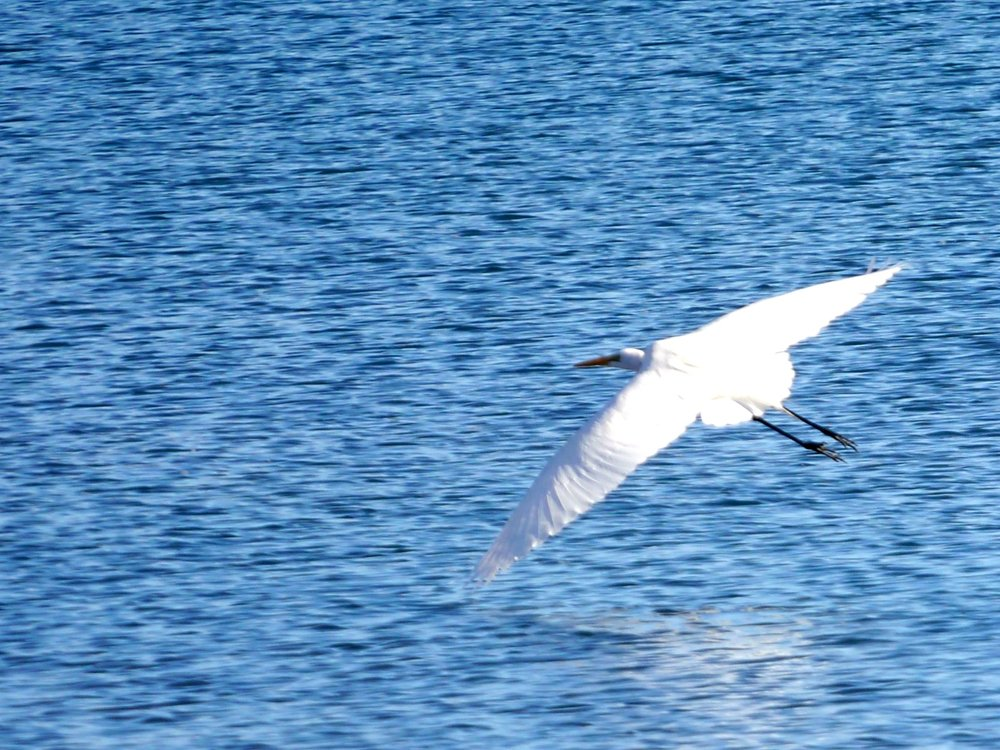 3-27-17 Great Egret in flight copy.jpg